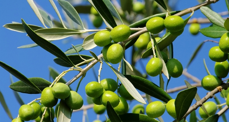Progetto VIOLIN, ecco l'innovazione che valorizza l'olio extravergine di oliva italiano
