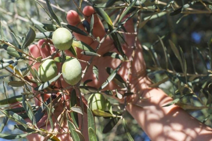 Uno studio di S.O.S. per determinare l'epoca ottimale di raccolta delle olive in grado di esaltare la qualità dell'olio